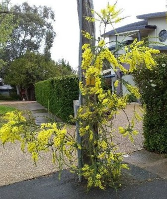 Adrian's resilient wattle