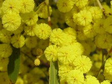 Golden Wattle (A. pycnantha) SD Searle