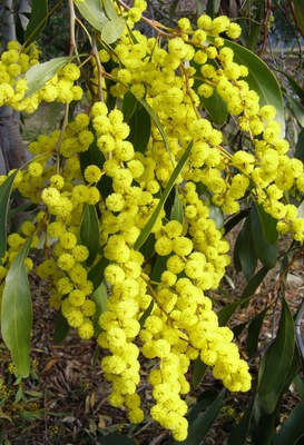 Golden wattle (Acacia pycnantha )