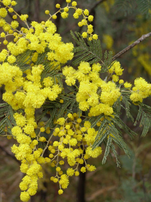 Silver wattle (Acacia dealbata) 17 August 2006 © S. D. Searle