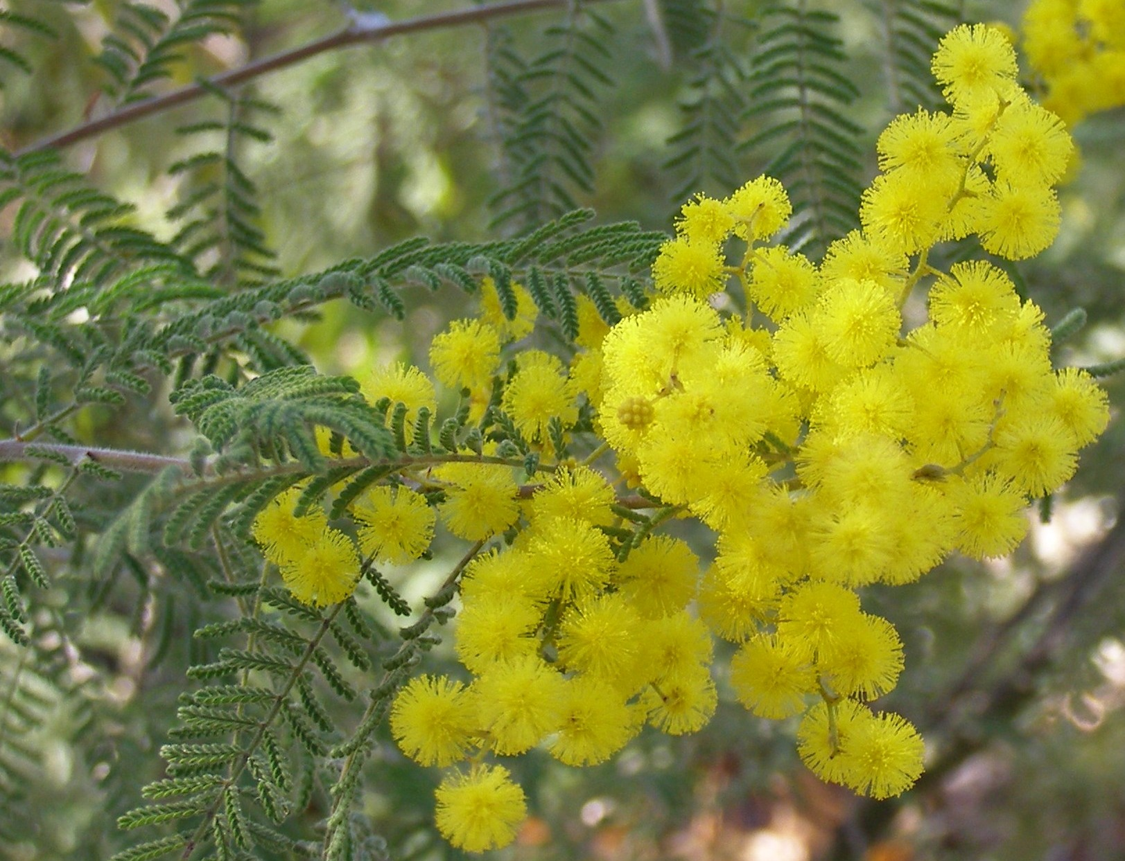 Acacia cardiophylla in flower