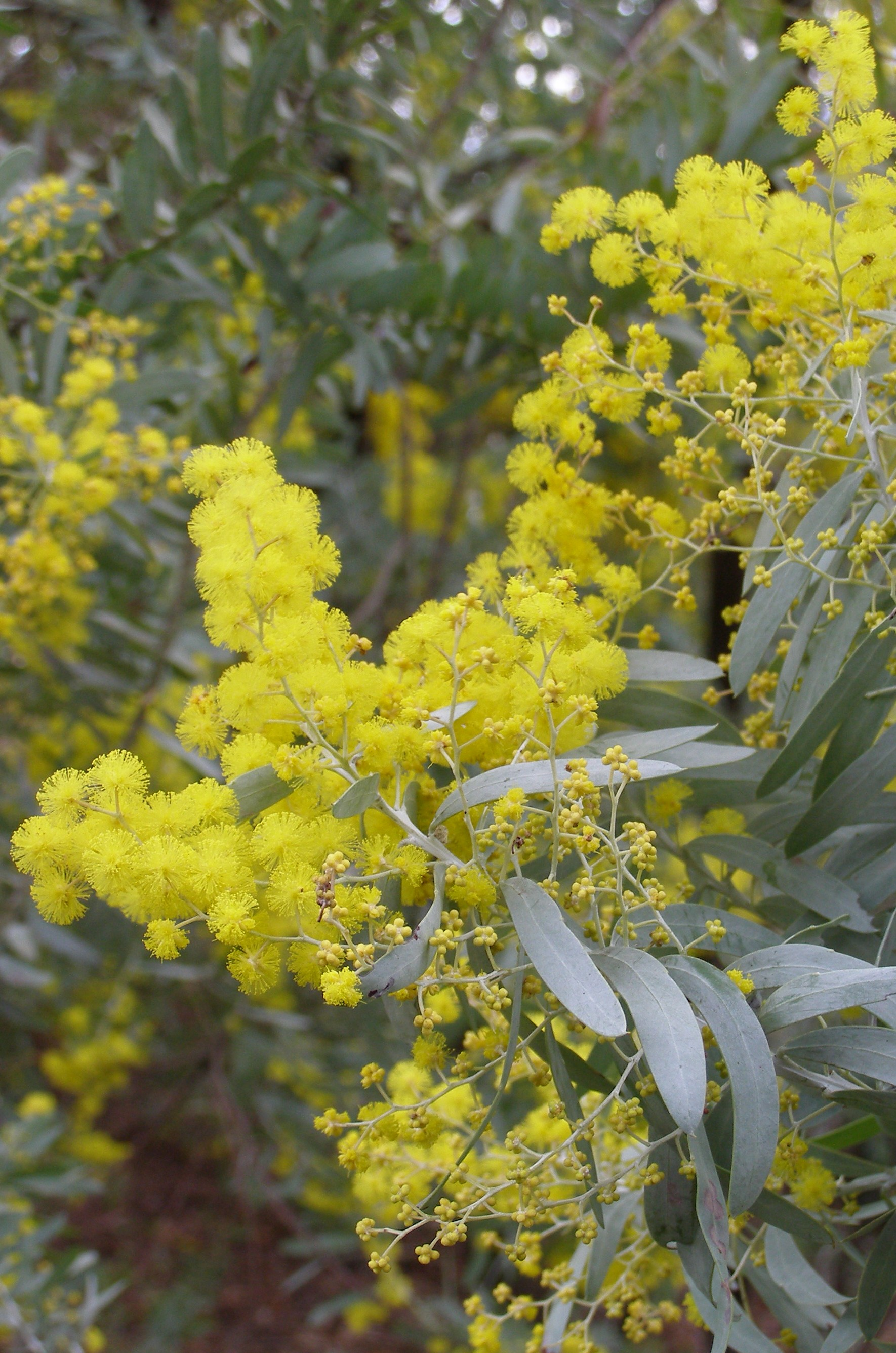 Acacia coveneyi Blue Bush