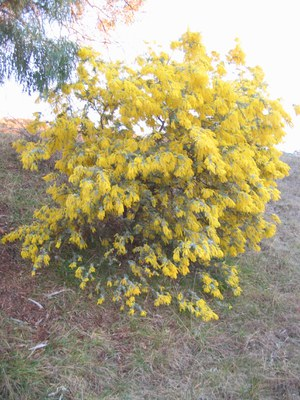 Cootamundra Wattle in bloom Canberra SD Searle