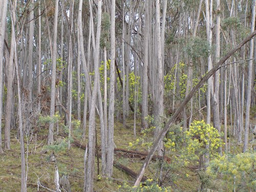 Silver wattle as an understory species