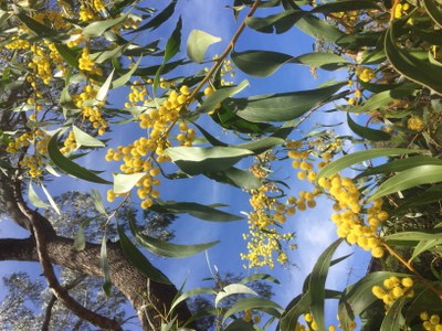 Golden Wattle Oct 2018 best