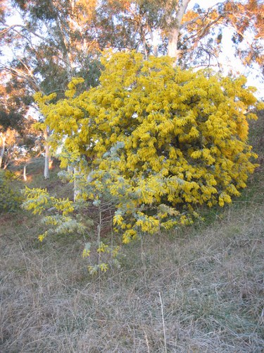 What Do You Know A Wattle Q A Wattle Day