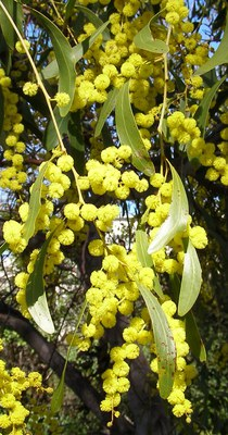 Golden Wattle in the sun
