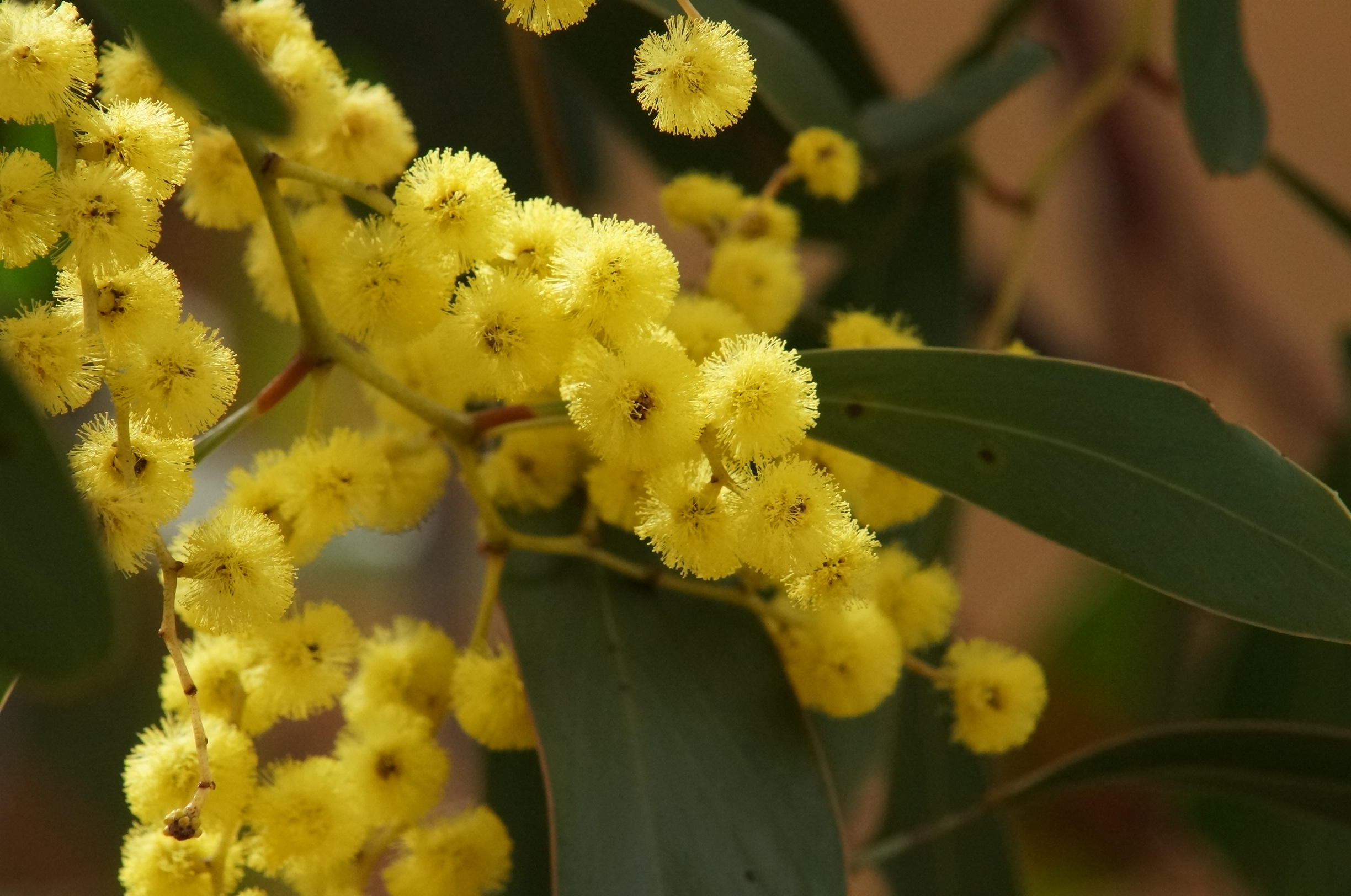 Golden Wattle (Acacia pycnantha) by Mark Tunningley