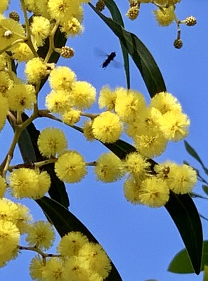 Golden wattle with hover fly July 2020 O'Malley ACT