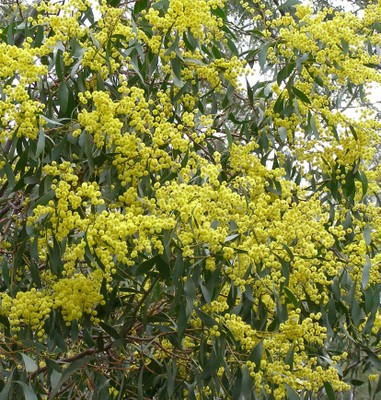 Acacia pycnantha blossom South Australia 1 August 2009 S. Searle.JPG